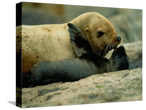 A Steller Sea Lion Cow Exchanges a Kiss with Her Pup-Joel Sartore-Stretched Canvas Print