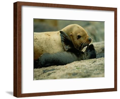A Steller Sea Lion Cow Exchanges a Kiss with Her Pup-Joel Sartore-Framed Art Print