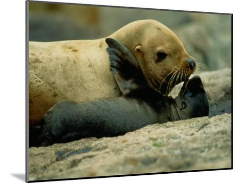 A Steller Sea Lion Cow Exchanges a Kiss with Her Pup-Joel Sartore-Mounted Photographic Print
