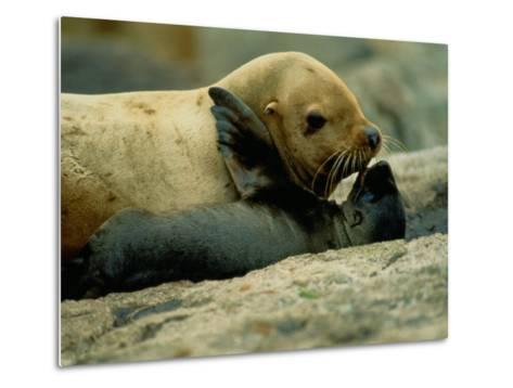 A Steller Sea Lion Cow Exchanges a Kiss with Her Pup-Joel Sartore-Metal Print