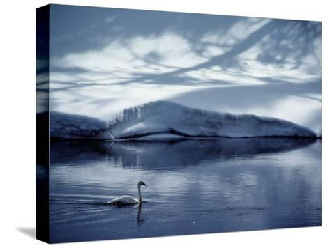 A Trumpeter Swan Glides Across the River-James P^ Blair-Stretched Canvas Print
