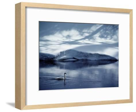 A Trumpeter Swan Glides Across the River-James P^ Blair-Framed Art Print