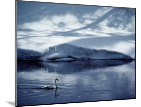 A Trumpeter Swan Glides Across the River-James P^ Blair-Mounted Photographic Print