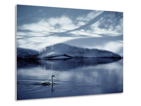 A Trumpeter Swan Glides Across the River-James P^ Blair-Metal Print