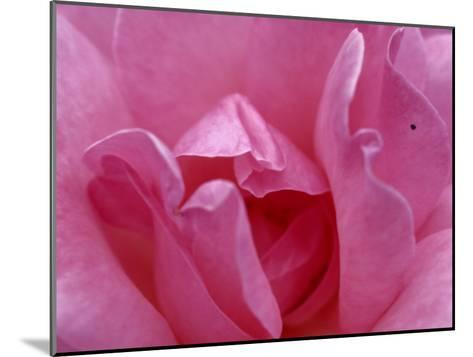 A Close View of the Petals of a Pink Rose-Todd Gipstein-Mounted Photographic Print