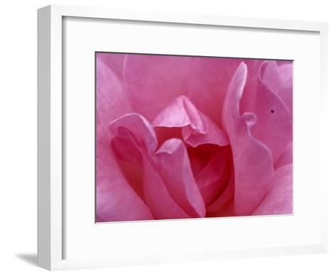 A Close View of the Petals of a Pink Rose-Todd Gipstein-Framed Art Print