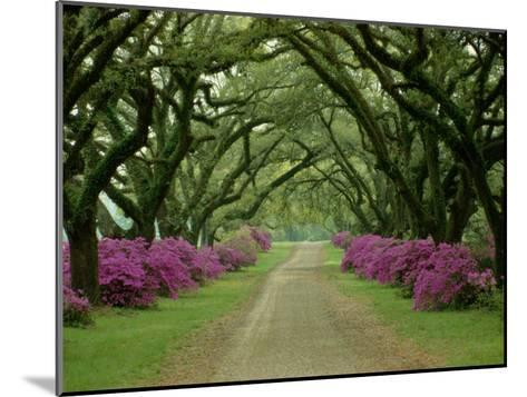A Beautiful Pathway Lined with Trees and Purple Azaleas-Sam Abell-Mounted Photographic Print