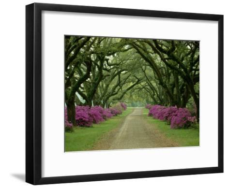 A Beautiful Pathway Lined with Trees and Purple Azaleas-Sam Abell-Framed Art Print