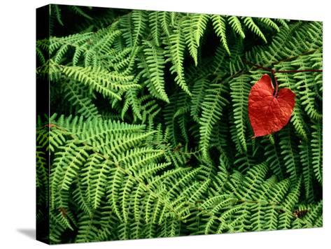 Mountain Bindweed and Fern Fronds-Bates Littlehales-Stretched Canvas Print