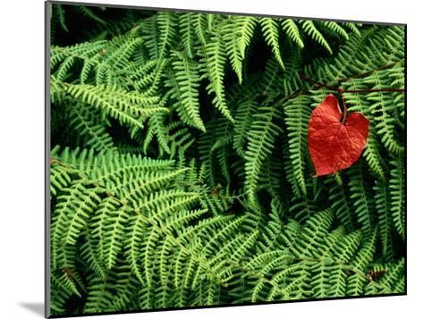 Mountain Bindweed and Fern Fronds-Bates Littlehales-Mounted Photographic Print