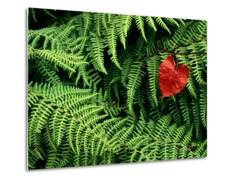 Mountain Bindweed and Fern Fronds-Bates Littlehales-Metal Print