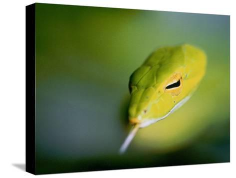 A Rain Forest Whipsnake, Swimming with His Tongue Out-Mattias Klum-Stretched Canvas Print