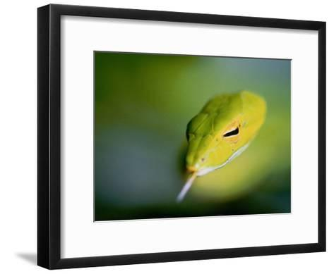 A Rain Forest Whipsnake, Swimming with His Tongue Out-Mattias Klum-Framed Art Print