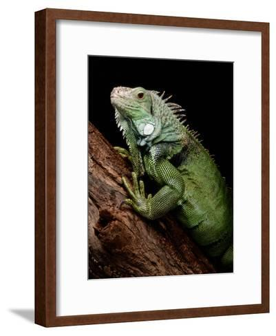 Green Iguana, Also Known as the Common Iguana-George Grall-Framed Art Print
