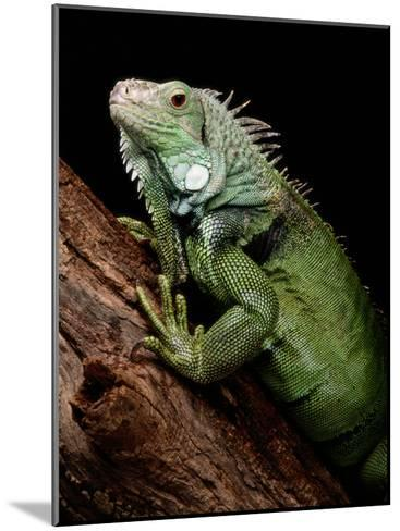 Green Iguana, Also Known as the Common Iguana-George Grall-Mounted Photographic Print