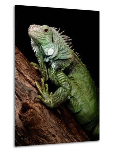 Green Iguana, Also Known as the Common Iguana-George Grall-Metal Print