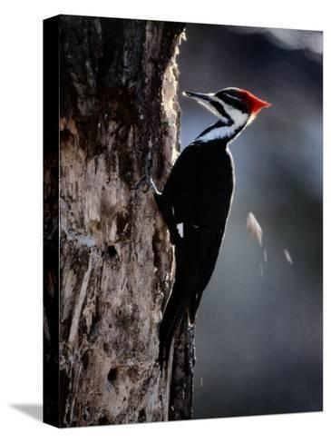 Pileated Woodpecker-Bates Littlehales-Stretched Canvas Print