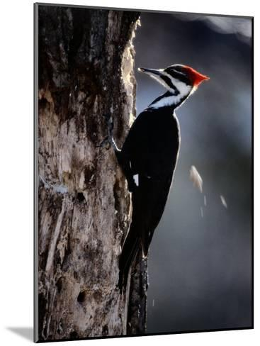 Pileated Woodpecker-Bates Littlehales-Mounted Photographic Print