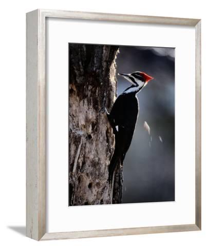 Pileated Woodpecker-Bates Littlehales-Framed Art Print