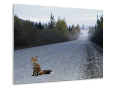 Red Fox on the Cassier Highway-Rich Reid-Metal Print