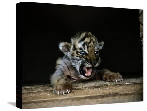 A Young Siberian Tiger-Dr^ Maurice G^ Hornocker-Stretched Canvas Print