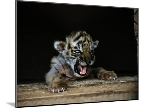 A Young Siberian Tiger-Dr^ Maurice G^ Hornocker-Mounted Photographic Print