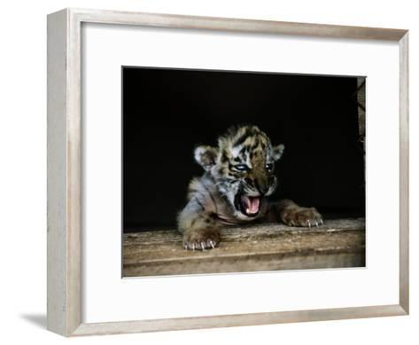 A Young Siberian Tiger-Dr^ Maurice G^ Hornocker-Framed Art Print