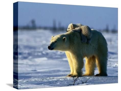 Polar Bear with Her Young-Norbert Rosing-Stretched Canvas Print