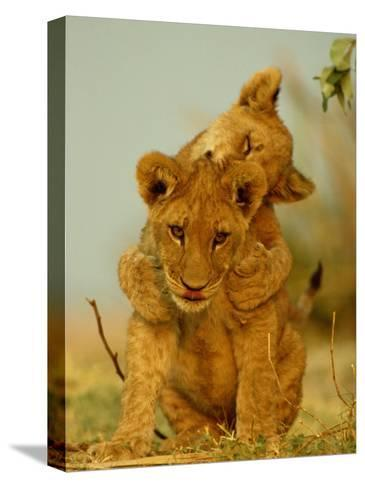 Two African Lion Cubs Playing-Beverly Joubert-Stretched Canvas Print