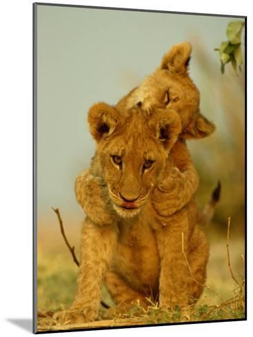 Two African Lion Cubs Playing-Beverly Joubert-Mounted Photographic Print