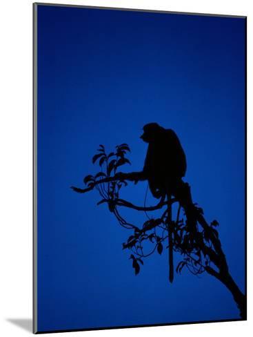 Silhouetted Proboscis Monkey (Nasalis Larvatus)-Mattias Klum-Mounted Photographic Print