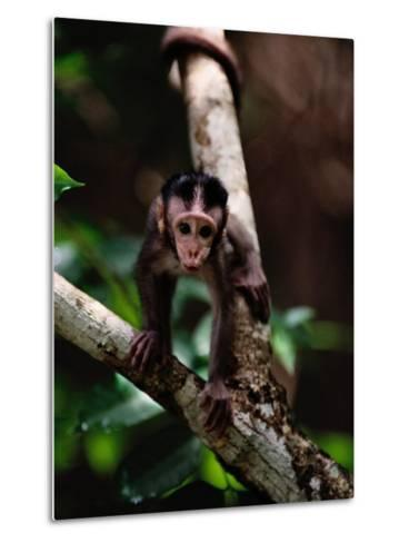 Close View of a Baby Macaque-Mattias Klum-Metal Print