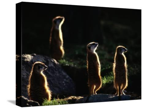 A Group of Captive Meerkats Standing in the Afternoon Sun-Tim Laman-Stretched Canvas Print