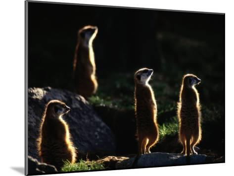 A Group of Captive Meerkats Standing in the Afternoon Sun-Tim Laman-Mounted Photographic Print
