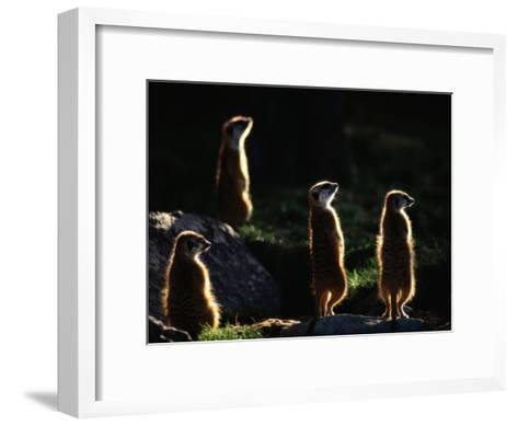 A Group of Captive Meerkats Standing in the Afternoon Sun-Tim Laman-Framed Art Print