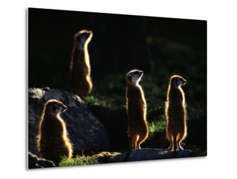 A Group of Captive Meerkats Standing in the Afternoon Sun-Tim Laman-Metal Print