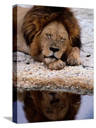 A Male Lion Sleeps Peacefully Near a Water Hole-Tim Laman-Stretched Canvas Print