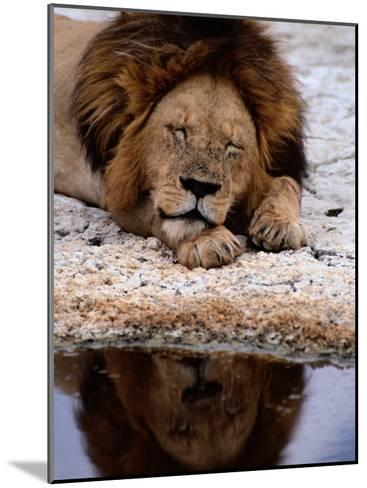 A Male Lion Sleeps Peacefully Near a Water Hole-Tim Laman-Mounted Photographic Print