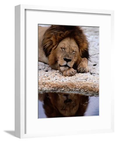 A Male Lion Sleeps Peacefully Near a Water Hole-Tim Laman-Framed Art Print