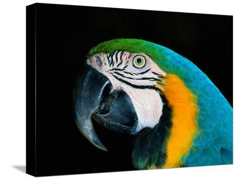 A Head-Only View of a Captive Blue and Yellow Macaw-Tim Laman-Stretched Canvas Print