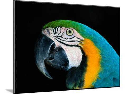 A Head-Only View of a Captive Blue and Yellow Macaw-Tim Laman-Mounted Photographic Print
