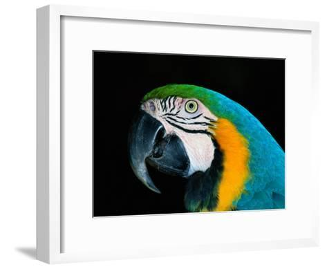 A Head-Only View of a Captive Blue and Yellow Macaw-Tim Laman-Framed Art Print