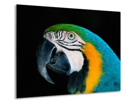 A Head-Only View of a Captive Blue and Yellow Macaw-Tim Laman-Metal Print