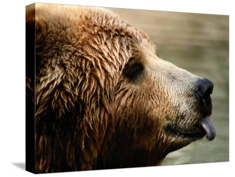 A Portrait of a Captive Kodiak Brown Bear with His Tongue Sticking Out-Tim Laman-Stretched Canvas Print