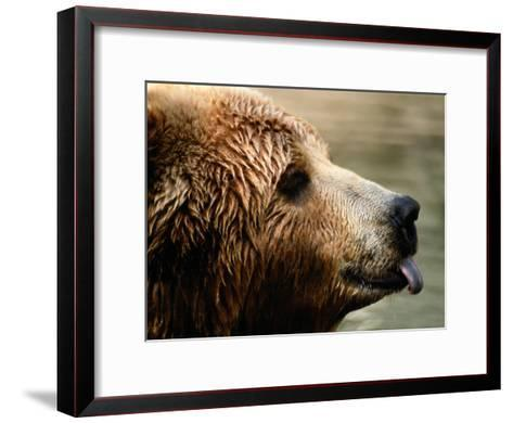 A Portrait of a Captive Kodiak Brown Bear with His Tongue Sticking Out-Tim Laman-Framed Art Print