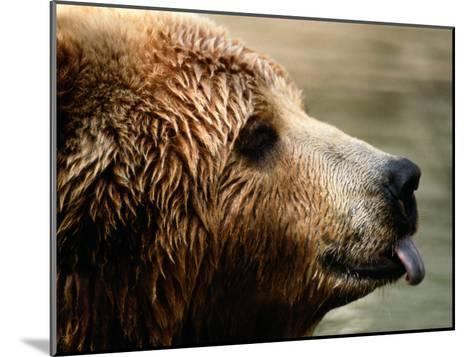 A Portrait of a Captive Kodiak Brown Bear with His Tongue Sticking Out-Tim Laman-Mounted Photographic Print
