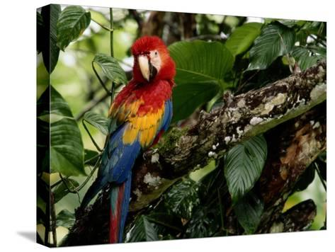 A Wild Scarlet Macaw Perched on a Tree in Costa Rica--Stretched Canvas Print