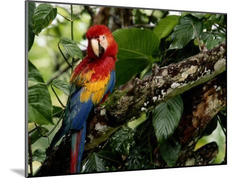 A Wild Scarlet Macaw Perched on a Tree in Costa Rica--Mounted Photographic Print