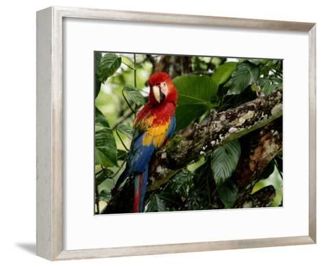 A Wild Scarlet Macaw Perched on a Tree in Costa Rica--Framed Art Print