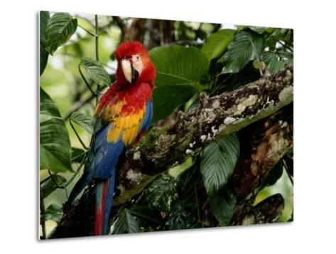 A Wild Scarlet Macaw Perched on a Tree in Costa Rica--Metal Print
